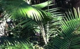 Bangalow Palm, Ringwood Creek Bellingen